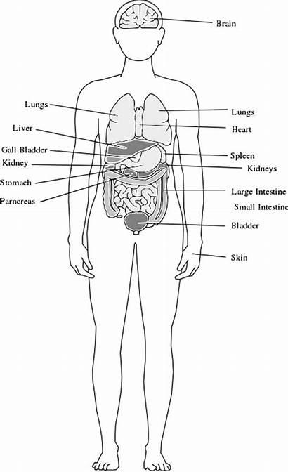 Organs Anatomy Coloring Pages Medical Human Drawing
