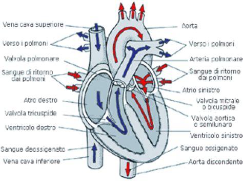 cuore e vasi l apparato circolatorio cuore e arterie