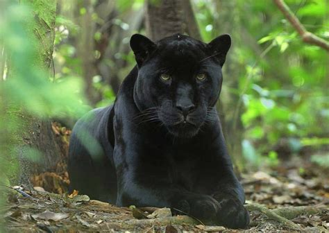 Black panther's story originates in the fictional nation of wakanda, touted in the comic as the only in that sense, the film is a beacon for the black imagination…what blackness could be in the future. First PIcs...BLACK PANTHER 2... | IGN Boards