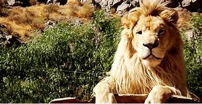 Wildlife Animals Wild Natural Nature Animal Lion