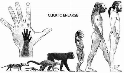 Evolution Human Mammals Timeline Fish Reptileevolution Humans