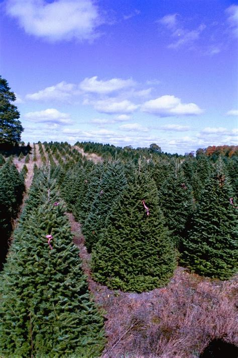 noble fir transplants fraser fir