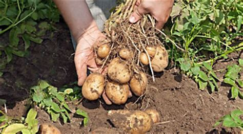 how to potatoes from garden growing potatoes for year harvest gardening