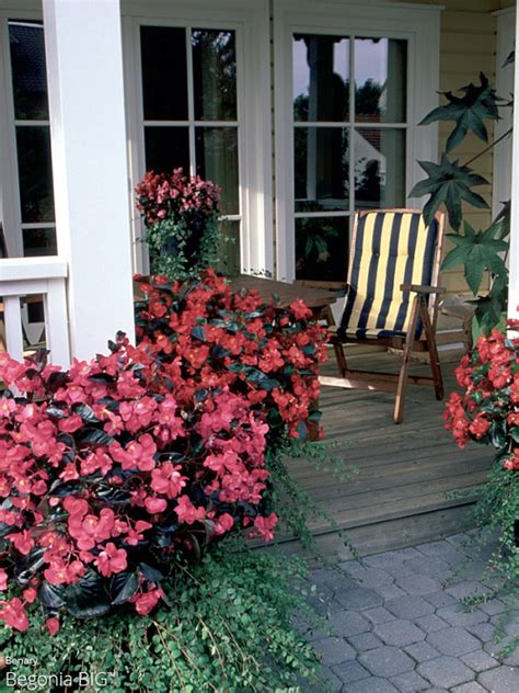 all about color begonia big all about color all about color