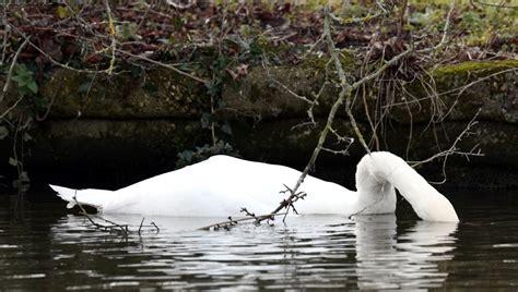 Fugleinfluensa er en dyresykdom som skyldes et mutert virus hos dyr, og som i mange tilfeller fører til døden. Flere av dronning Elizabeths svaner døde av fugleinfluensa ...
