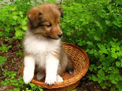 shetland sheepdog dogs and puppies dog breeds journal