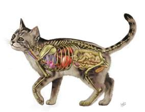 anatomy of a cat cat anatomy v2 0 by jacquelinerae on deviantart