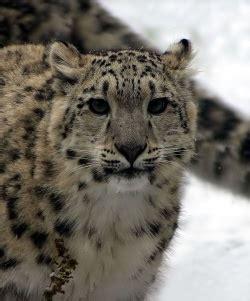schneeleopard tierdoku