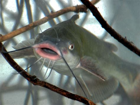catfish trotlining  jugging tricks outdoorhub