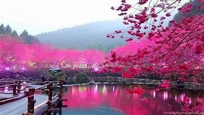 Cherry Blossom Resolution Wallpapers Desktop Background