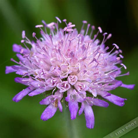 wilg bloem beemdkroon knautia arvensis paarse lila wilde bloemen