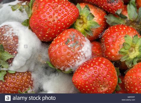 Mold Strawberries Stock Photos & Mold Strawberries Stock