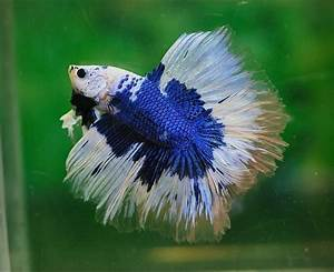 Blue and white doubletail | Bettas | Pinterest