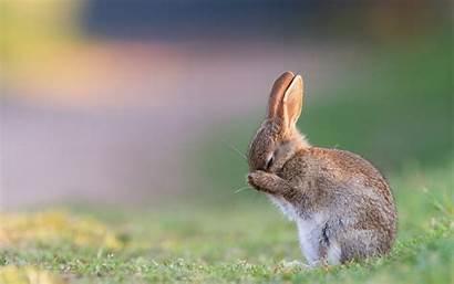 Rabbit Rabbits Bunny Wallpapers Desktop Animals Background