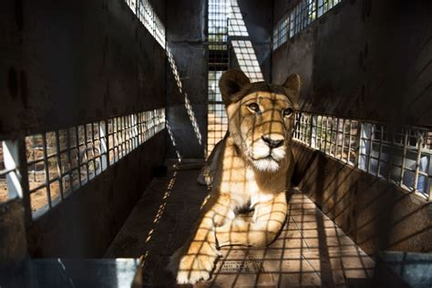 The Ongoing Disgrace Of South Africas Captive Bred Lion