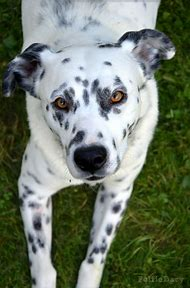 best dalmatian mix ideas and images on bing find what you ll love