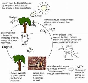 Energy Cycle From Plants To Animals