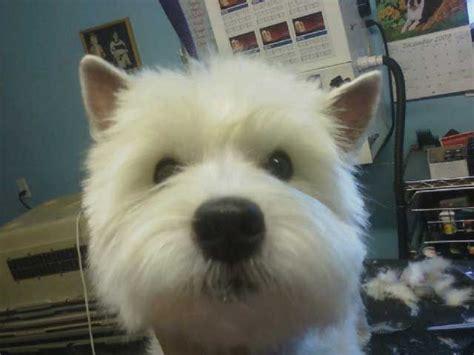 West Highland Terrier Grooming Styles