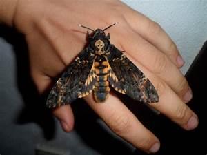 Mariposas esfinge calavera :: Imágenes y fotos
