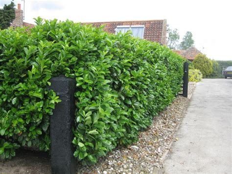 Fast Growing Evergreen For Healthy Living Environment Fast