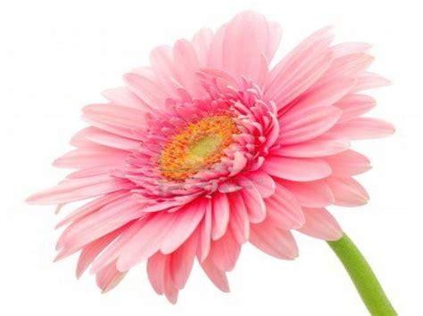 gerbera daisy flower wallpaper  wallpaperscom