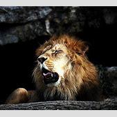 Barbary lion �...