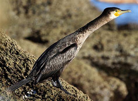 black shag  zealand birds