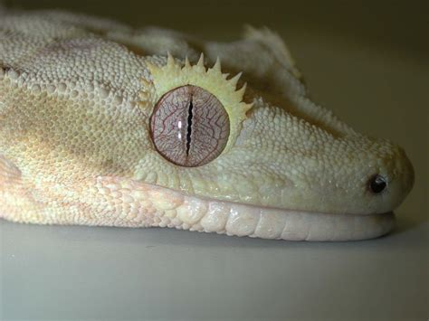 crested gecko shed box crested gecko care page 64