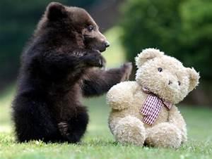 Bear cub playing with teddy bear - Teh Cute