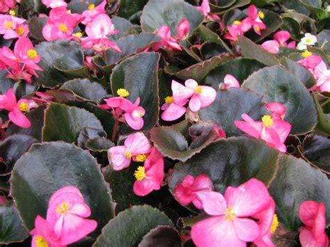 cour de cuisine bégonia annuel begonia semperflorens semis et culture