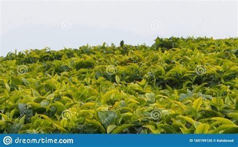 P 8462 a lot no: Tea Plantation On Hill In Rwanda Stock Photo - Image of organic, hill: 165199120