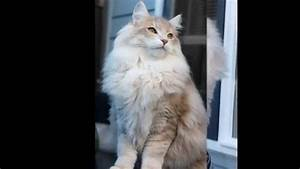 Norwegian Forest Cat Light Amber Blotched - YouTube