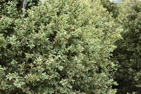 evergreen shrub russell s photo gallery plants 187 shrubs evergreen broad leaf 187 boxwood variegated english
