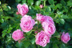 Wann Schneidet Man Rosen Zurück : rose leonardo da vinci schneiden wann wie viel und warum ~ Orissabook.com Haus und Dekorationen