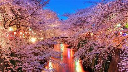 Cherry Blossom Blossoms Wallpapers Lights