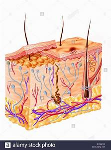 Human Skin Diagram Stock Photos  U0026 Human Skin Diagram Stock