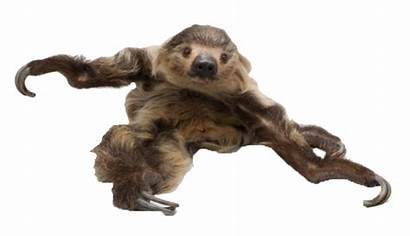 Sloth Transparent Rainforest Clipart Toed Clip Brown