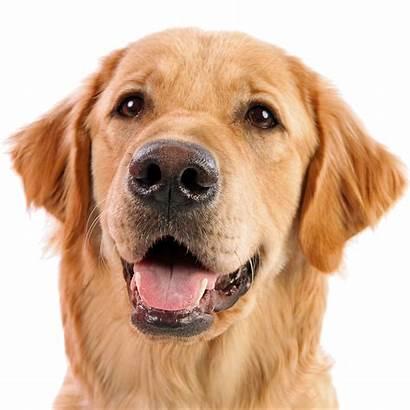Dog Clipart Retriever Golden Face Transparent Perro