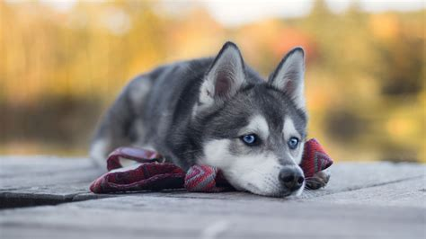 wallpaper husky dog cute animals  animals