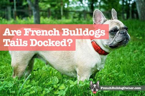 tails french born docked bulldogs dog cut without breeds dock
