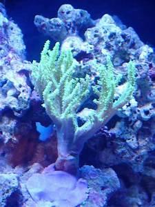 Green Nepthea Leather - Reef Aquarium