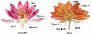 Is Lotus Different From Water
