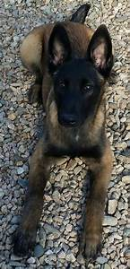 152 best images about Belgian Malinois on Pinterest