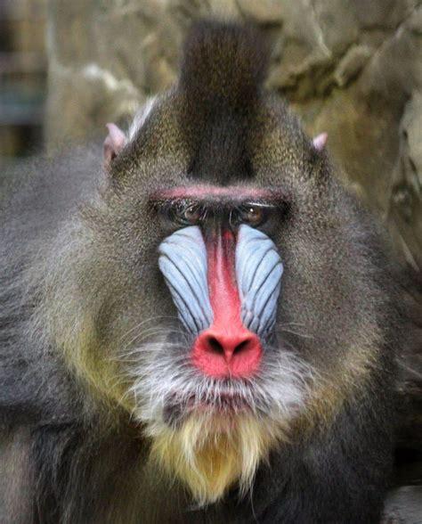 cleveland mandrill zoo mandrills
