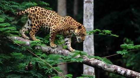 Jaguar Photo by How Do Jaguars Survive In The Rainforest Some