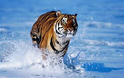 Tiger Wallpapers Tigers Snow Wild Animals
