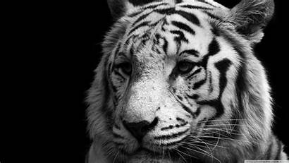 Tiger Background Wallpapers 4k Desktop Tigers Animals