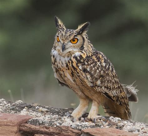 Indian Eagle Owl Habitat  Best Image Konpax 2018