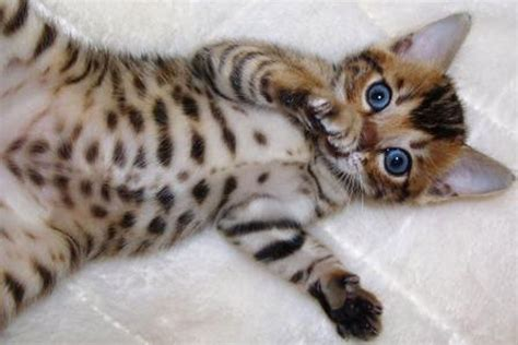 bengal cat personality bengal cat purrfect cat breeds