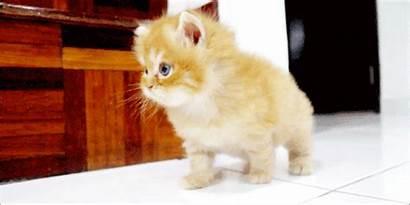 Cat Gifs Cutest Kitten Fluffy Ever Meow